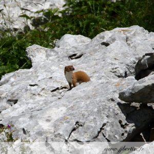 photos animalières drôme jjbertin.fr 2019 belette européenne