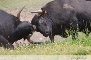 photos animalières drôme jjbertin.fr 2019 taureau espagne