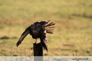photos animalières drôme jjbertin.fr 2019 buse variable