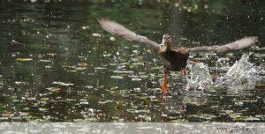 photos animalières drôme jjbertin.fr 2019 canard colvert