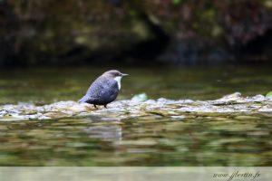 photos animalières drôme jjbertin.fr 2019 cincle plongeur
