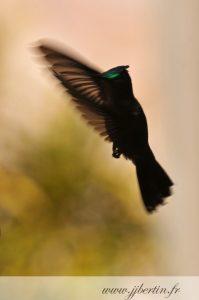 photos animalières drôme jjbertin.fr 2019 colibri huppé guadeloupe