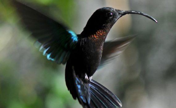 photos animalières drôme jjbertin.fr 2019 colibri falle-vert guadeloupe