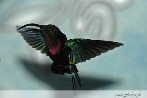 photos animalières drôme jjbertin.fr 2019 colibri madère guadeloupe