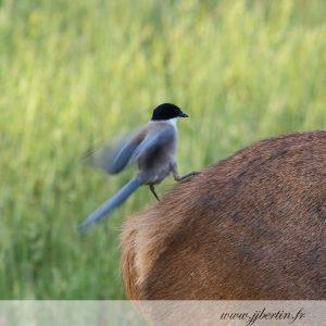photos animalières drôme jjbertin.fr 2019 pie bleue
