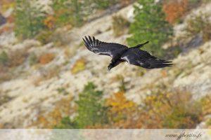 photos animalières drôme jjbertin.fr 2019 grand corbeau