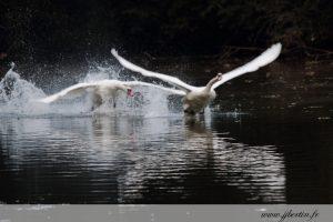 photos animalières drôme jjbertin.fr 2019 cygne tuberculé