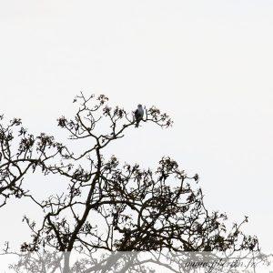 photos animalières drôme jjbertin.fr 2019 élanion blanc