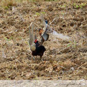 photos animalières drôme jjbertin.fr 2019 faisan de colchide