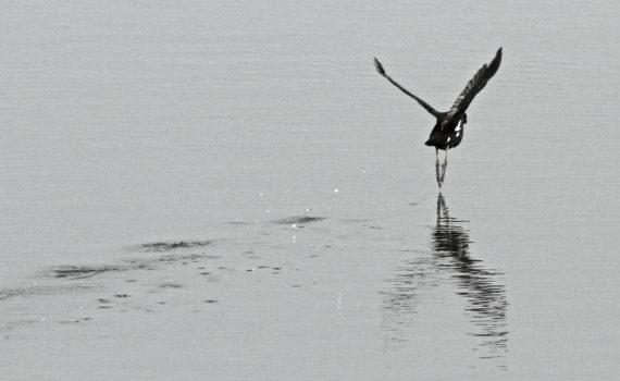photos animalières drôme jjbertin.fr 2019 gallinule poule d'eau