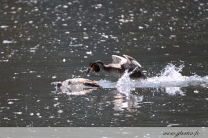 photos animalières drôme jjbertin.fr 2019 grèbe huppé