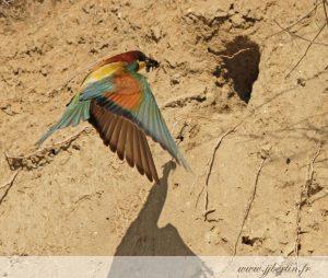 photos animalières drôme jjbertin.fr 2019 guépier d'europe