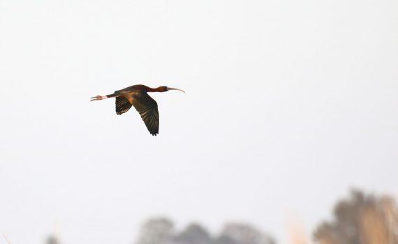 photos animalières drôme jjbertin.fr 2019 ibis falcinelle