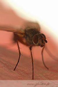 photos animalières drôme jjbertin.fr 2019 insecte mouche
