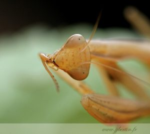 photos animalières drôme jjbertin.fr 2019 insecte mante religieuse