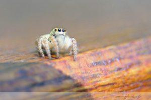 photos animalières drôme jjbertin.fr 2019 insecte araignée saltique