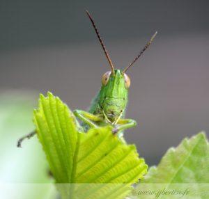 photos animalières drôme jjbertin.fr 2019 insecte sauterelle