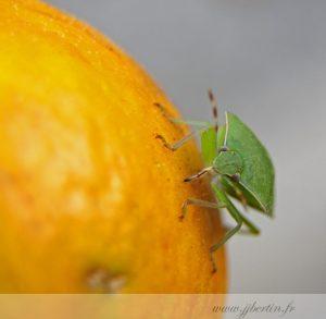 photos animalières drôme jjbertin.fr 2019 insecte punaise