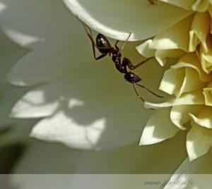 photos animalières drôme jjbertin.fr 2019 insecte fourmi