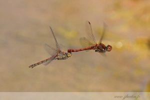 photos animalières drôme jjbertin.fr 2019 insecte libellule