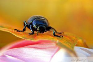 photos animalières drôme jjbertin.fr 2019 insecte scarabée