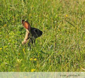 photos animalières drôme jj bertin.fr 2019 lapin de garenne