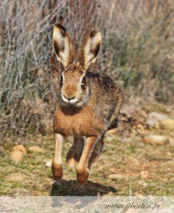 photos animalières drôme jj bertin.fr 2019 lièvre d'europe