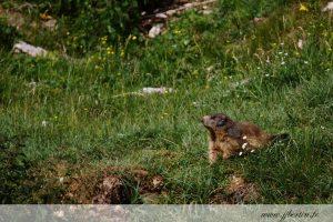 photos animalières drôme jj bertin.fr 2019 marmotte des Alpes