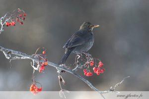 photos animalières drôme jjbertin.fr 2019 merle noir