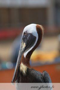 photos animalières drôme jjbertin.fr 2019 pelican