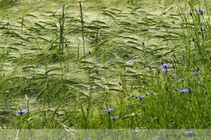 photos animalières drôme jjbertin.fr 2019 paysage bleuet
