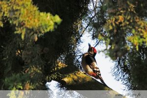 photos animalières drôme jjbertin.fr 2019 pic épeiche
