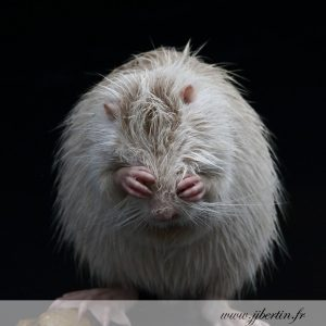 photos animalières drôme jj bertin.fr 2019 ragondin