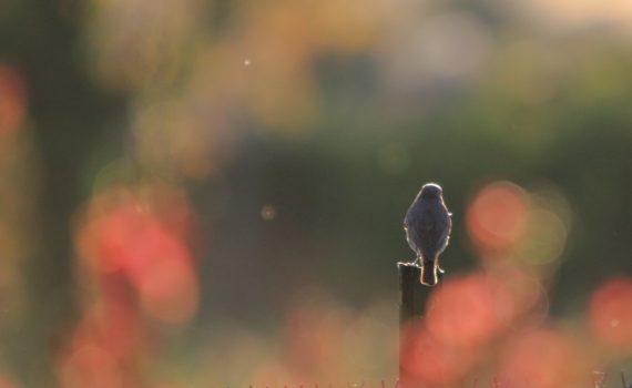 photos animalières drôme jjbertin.fr 2019 rouge queue noir