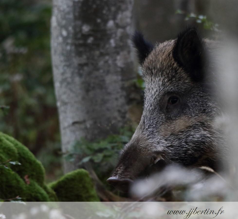 photos animalières drôme jjbertin.fr 2019 sanglier