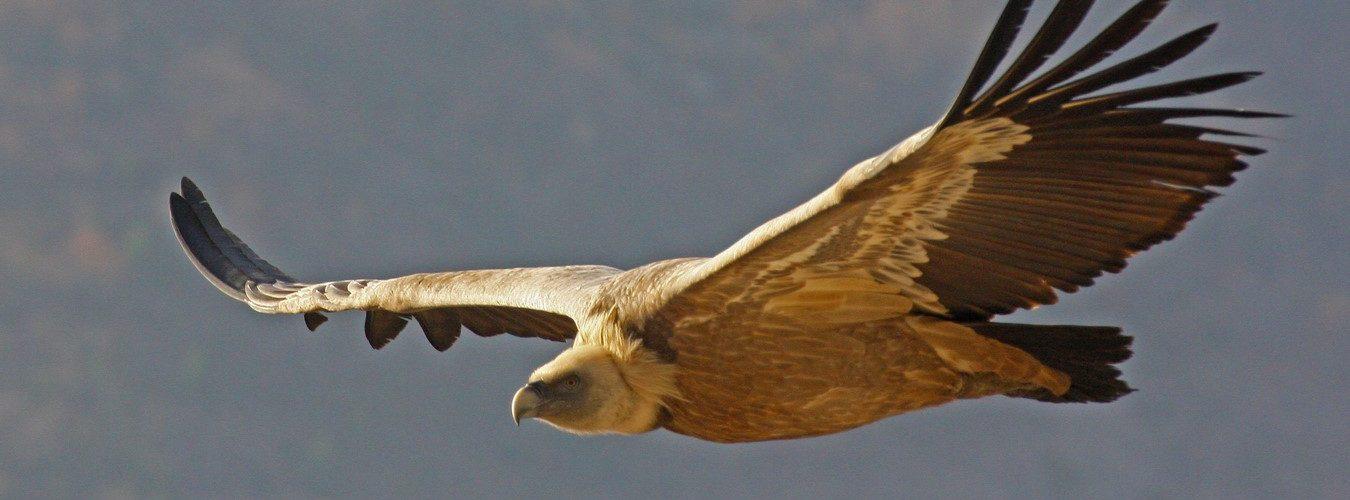 photos animalières drôme jjbertin.fr 2019 vautour fauve