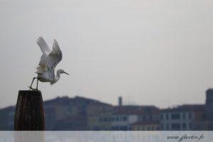 photos animalières drôme jjbertin.fr 2019 aigrette garzette
