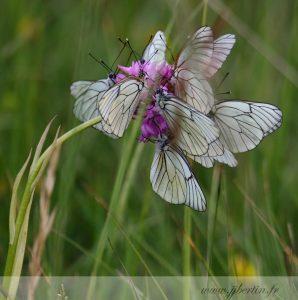 photos animalières drôme jjbertin.fr 2019 papillons dortoir