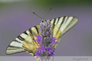 photos animalières drôme jjbertin.fr 2019 papillon flambé et lavande