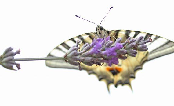 photos animalières drôme jjbertin.fr 2019 papillon flambé