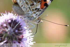 photos animalières drôme jjbertin.fr 2019 papillon