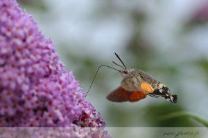 photos animalières drôme jjbertin.fr 2019 papillon sphynx moro colibri