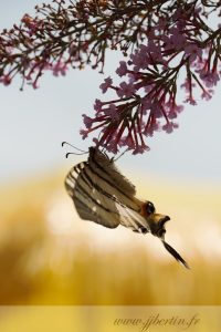photos animalières drôme jjbertin.fr 2019 papillon flambé et budleia