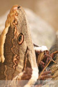 photos animalières drôme jjbertin.fr 2019 papillon grand paon de nuit