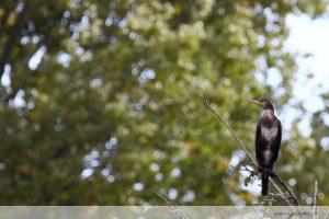 photos animalières drôme jjbertin.fr 2019 grand cormoran