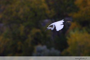 photos animalières drôme jjbertin.fr 2019 grande aigrette