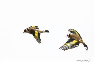 photos animalières drôme jjbertin.fr 2019 chardonneret élégant