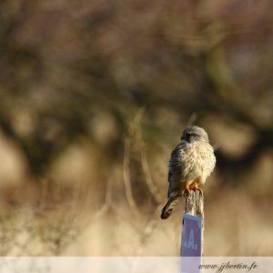 photos animalières drôme jjbertin.fr 2019 faucon crécerelle