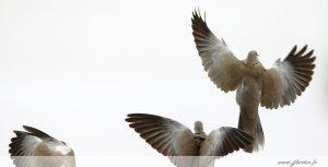photos animalières drôme jjbertin.fr 2019 tourterelle turque