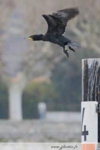 photos animalières drôme jj bertin.fr 2019 grand cormoran